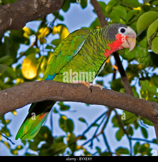 Cuban amazon or rose throated parrot - Stock Image