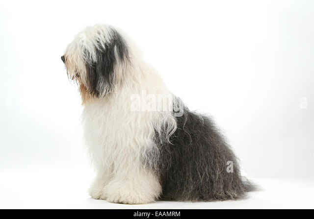 Old English sheep dog often associated with Dulux paint advert - Stock Image
