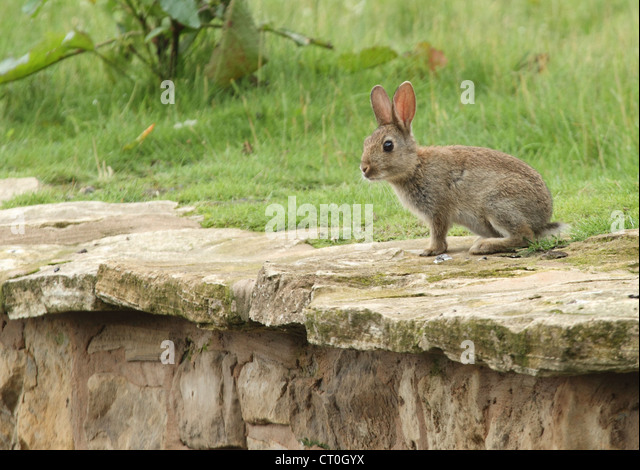 rabbit eating on a grass embankment - Stock Image