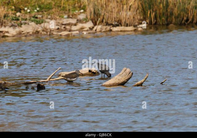 Spotted Redshank (Tringa erythropus) - Stock Image