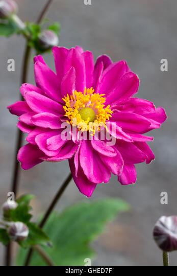 Anemone Hupehensis Var Japonica Stock Photos Anemone