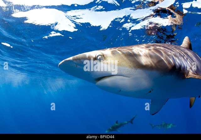 Close up of a Silky Shark in Cuba. - Stock Image