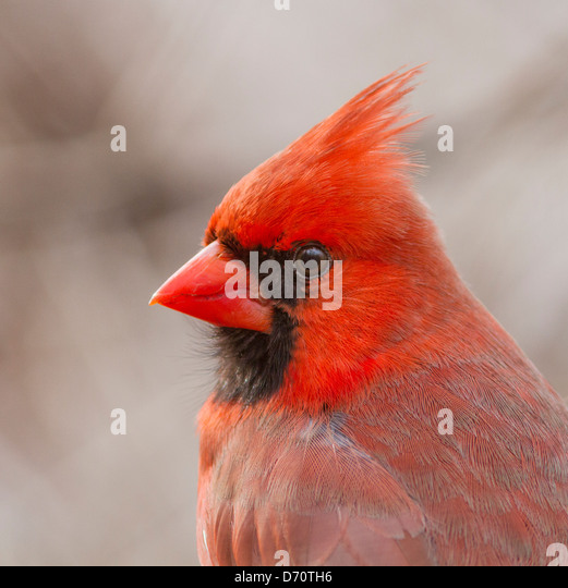 Detailed portrait of Northern Cardinal male in spring plumage. - Stock Image