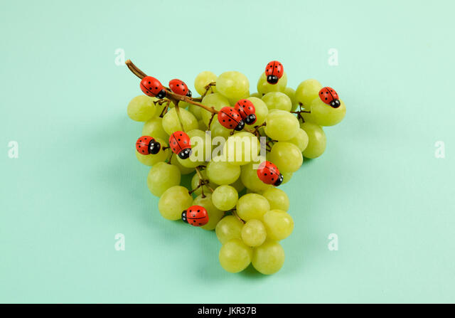 Invasion of ladybugs on a bunch of grapes. Vibrant color turquoise or violet background. Minimal design still life - Stock Image