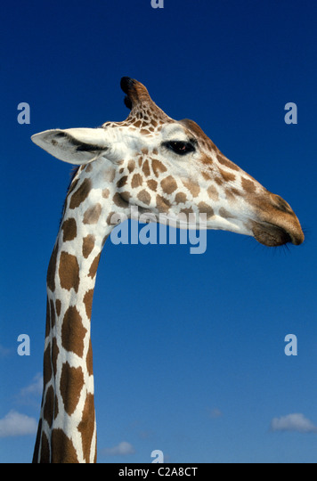 An African reticulated giraffe stretches its long neck to stare at visitors to Busch Gardens, an animal & adventure - Stock-Bilder