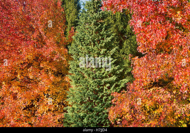 An evergreen tree in the midst of others with autumn colors - Stock Image