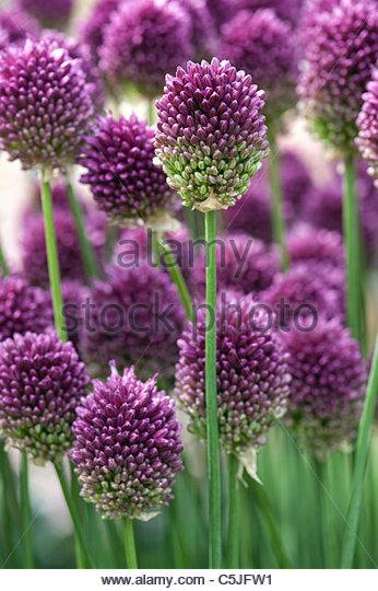 Allium sphaerocephalon. Round headed leek. Round-headed garlic flower - Stock Image
