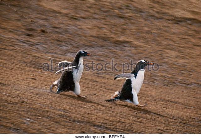 Gentoo penguin chick chasing parent, Pygoscelis papua, Falkland Islands - Stock Image