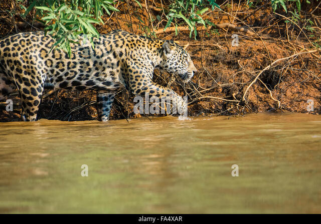 Profile of a Jaguar, Panthera onca, hunting along a river in the Pantanal, Mato Grosso, Brazil, South America - Stock Image