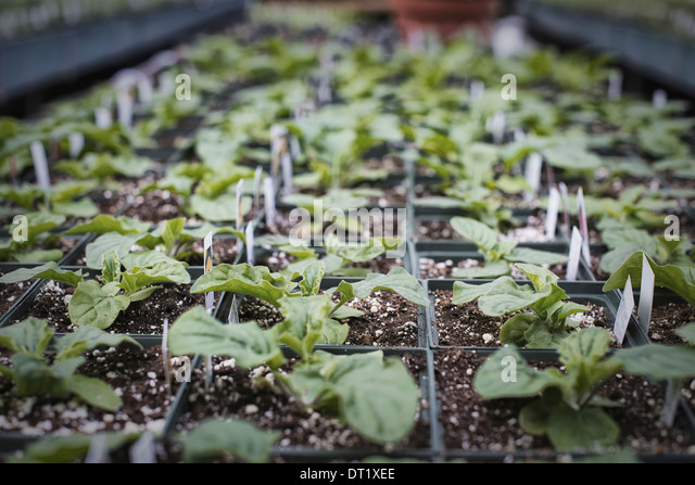Spring growth in an organic plant nursery A glasshouse staging with trays of young plants - Stock Image