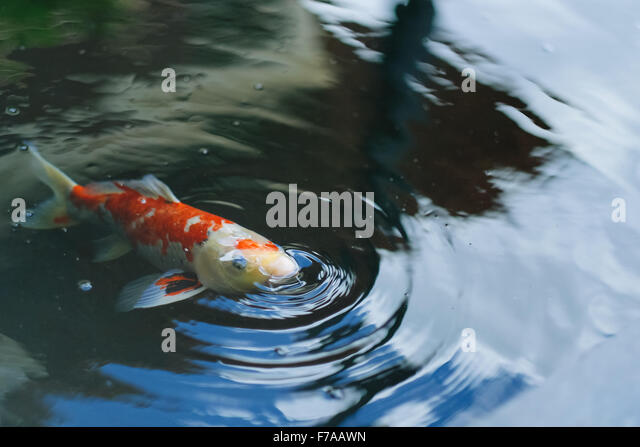 Surface pond fish stock photos surface pond fish stock for Surface fish ponds