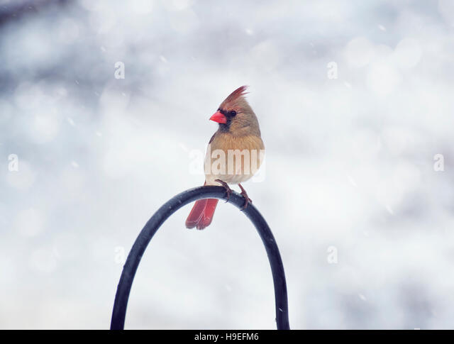 Northern Cardinal Female in the winter - Stock Image