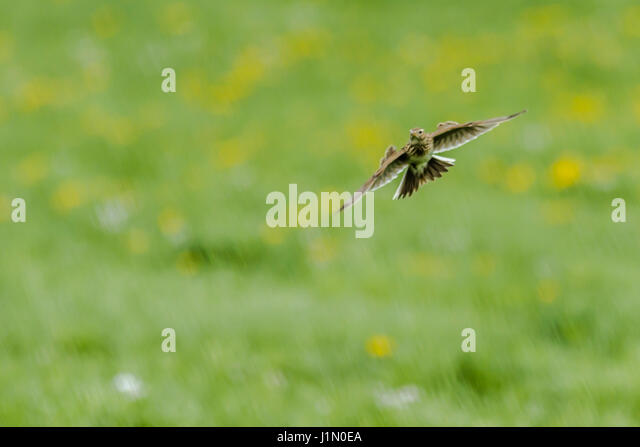 A common skylark in the flight - Stock Image