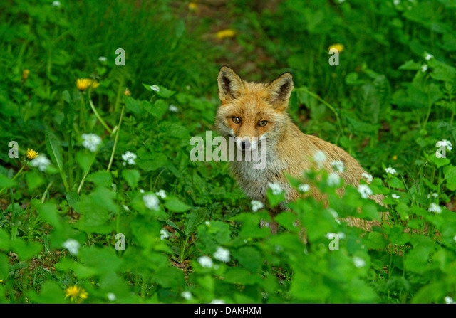 red fox (Vulpes vulpes), sitting in a glade, Germany - Stock Image