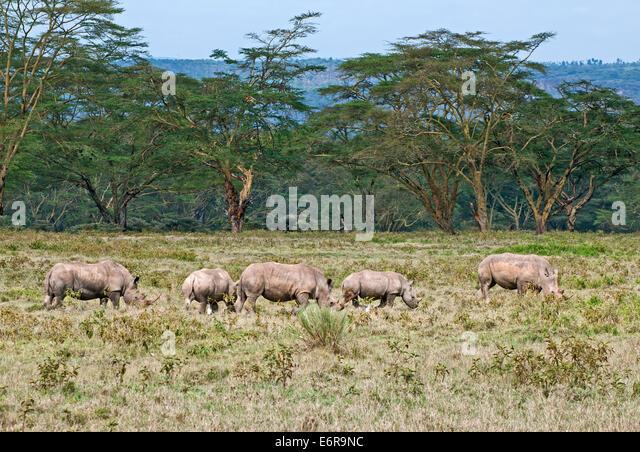 Five White rhinos grazing in grassland backed by acacia woodland in Lake Nakuru National Park Kenya East Africa - Stock Image