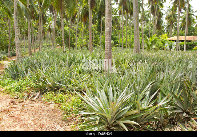 Pineapple Palm Stock Photos & Pineapple Palm Stock Images ...