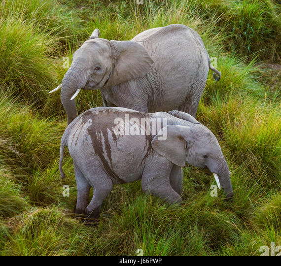 Two elephants in Savannah. Africa. Kenya. Tanzania. Serengeti. Maasai Mara. An excellent illustration. - Stock Image