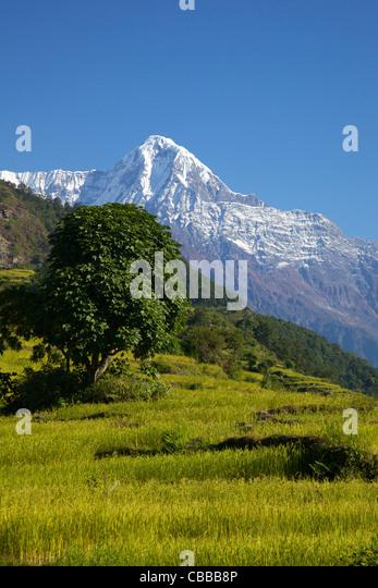 Rice fields and Annapurna, trek from Ghandruk to Nayapul, Annapurna Sanctuary Region, Nepal, Asia - Stock Image