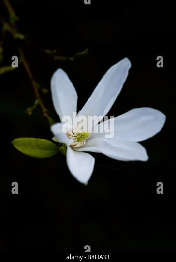 COMMON NAME Star magnolia LATIN NAME Magnolia stellata - Stock Image