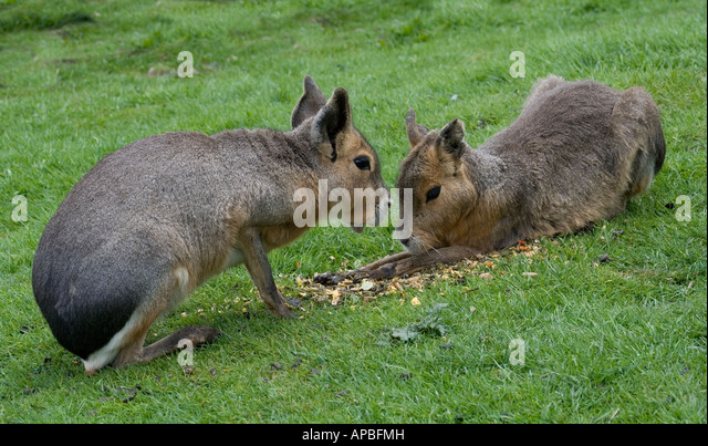 Mara or Patagonian Cavy (Dolichotis Patagonum) - third largest rodent (at about 18') after capybaras and beavers. - Stock Image