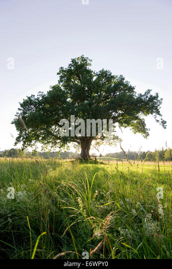 Mozart oak tree at sunset at Seeon Abbey, beneath which Mozart was said to have sat, Seeon, Chiemgau, Bavaria, Germany - Stock Image