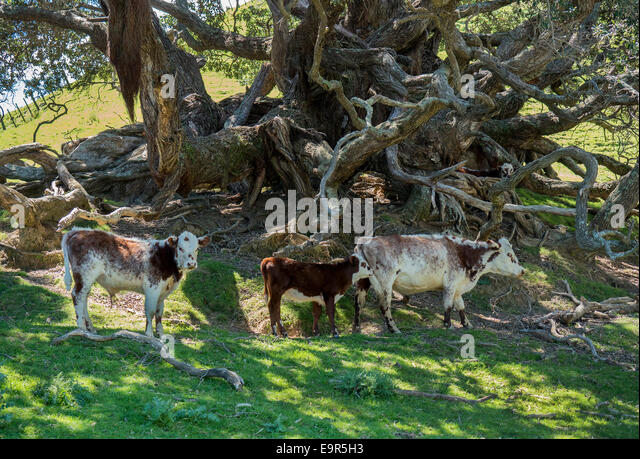 Cattle under a shady tree, Colville, Coromandel Peninsular, New Zealand - Stock Image