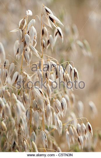 Avena Fatua. Black potato oats . Heritage variety. Common wild oat - Stock Image