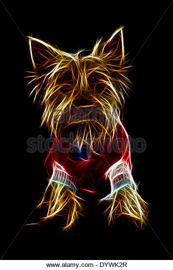 YORKSHIRE TERRIER PRESENTING CANINE CLOTHING FASHION OF THE YEAR - Stock Image