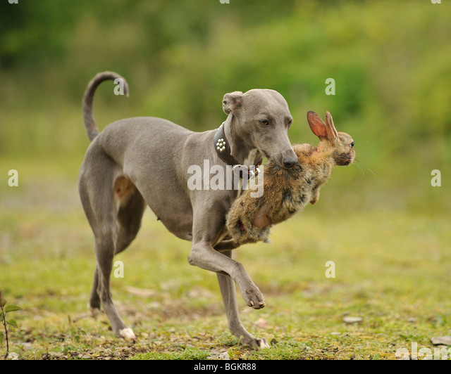 whippet carrying live rabbit - Stock Image