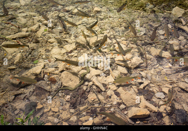 In the Plitvice Lakes National Park (Croatia), a Dice snake (Natrix tessellata) hunting chubs (Squalius cephalus) - Stock Image