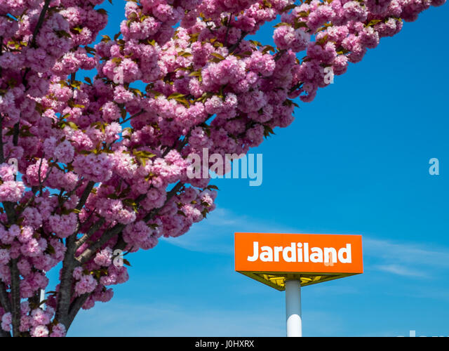 Ornamental Cherry tree in full blossom at Jardiland garden center, Chatellerault, France. - Stock Image