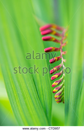 Crocosmia lucifer flower buds through leaves - Stock Image