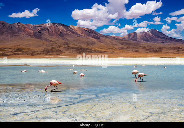 Flamingos in a lagoon in the Bolivian Altiplano - Stock Image