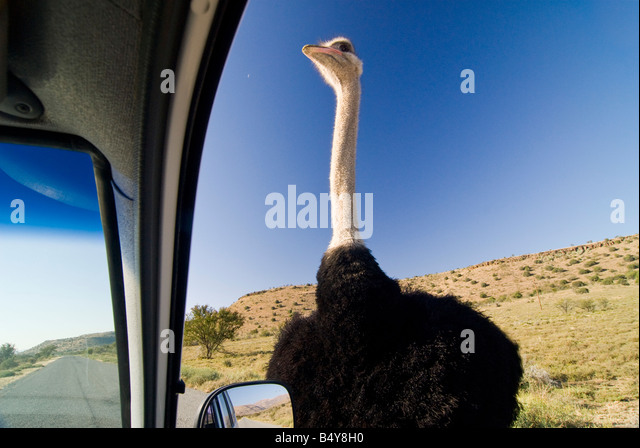 Ostrich, Mountain Zebra national park, Eastern Cape, South Africa - Stock-Bilder