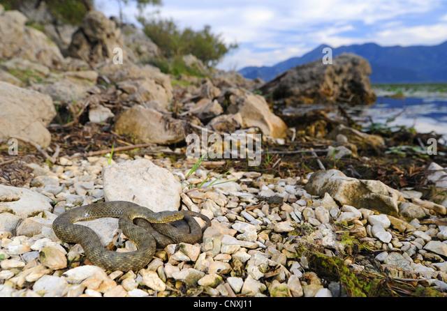dice snake (Natrix tessellata), lying on the waterfront of lake Skutari, Montenegro, Lake Skutari - Stock Image