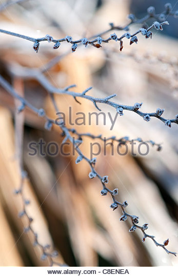 Frosted Crocosmia sp (montbretia) seed heads in winter - Stock Image