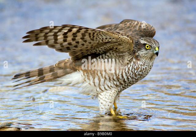 Baby sparrow hawk - photo#42