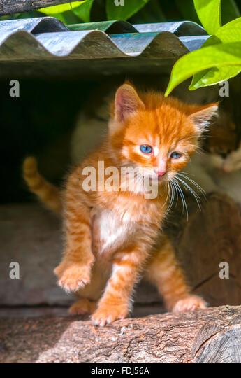 Ginger tom kitten - France. - Stock Image