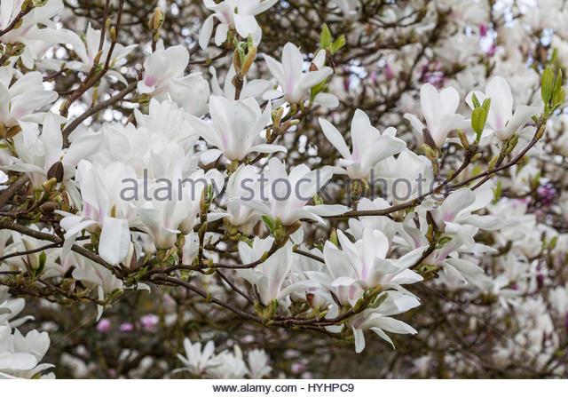 magnolia soulangeana alba stock photos magnolia. Black Bedroom Furniture Sets. Home Design Ideas