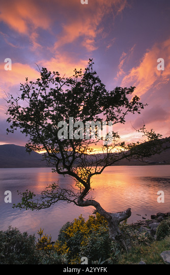Wind-bent hawthorn and Lough Feeagh at sunset, Nephin Beg mountains, Co Mayo, Ireland. - Stock-Bilder