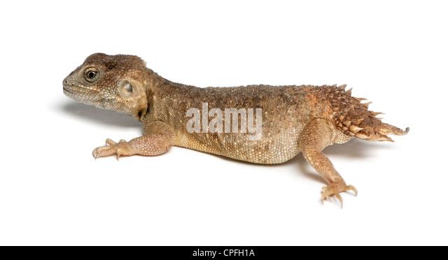 Shield-tailed Agama, Xenogama taylori, against white background - Stock Image