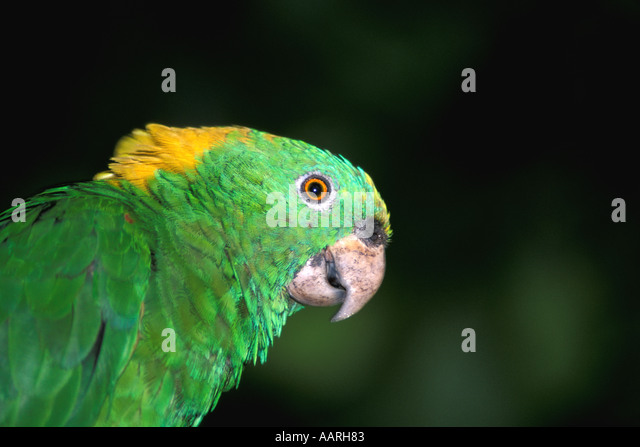 Guanaja Parrot Green and Yellow Honduras Horizontal Central America Bird - Stock Image