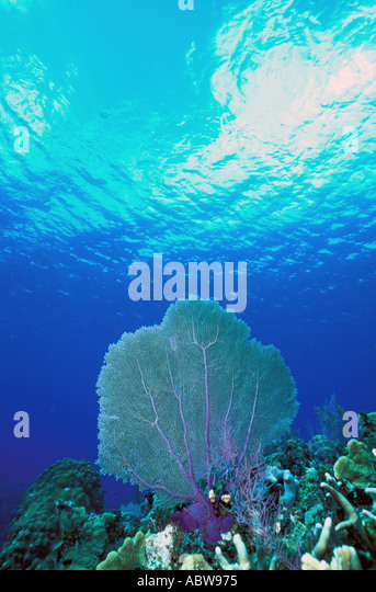 Underwater caribbean coral reep with prominent Sea Fan in deep blue water - Stock Image