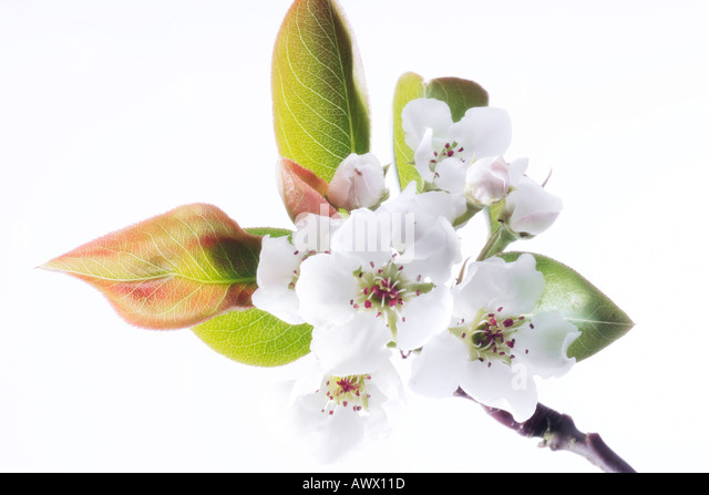 pearblossom asian singles Find woman bare bottom stock images in hd and millions of other royalty-free stock photos, illustrations, and vectors in the shutterstock collection thousands of new, high-quality pictures.