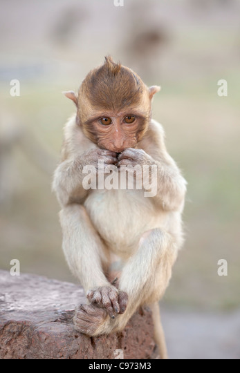 A baby macaque monkey ,Thailand - Stock Image