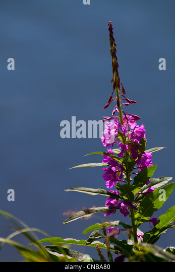 Fireweed blooms near Chiniak Bay, Kodiak Island, Southwest Alaska, Summer - Stock Image