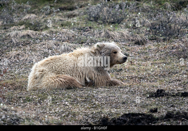 Grizzly bear taking it easy in Denali Park and Preserve, Alaska, United States - Stock Image