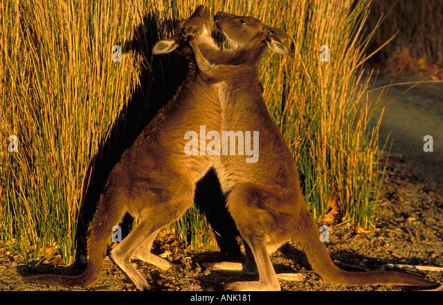 Kangaroos playing boxing in Kangaroo Island Australia - Stock Image