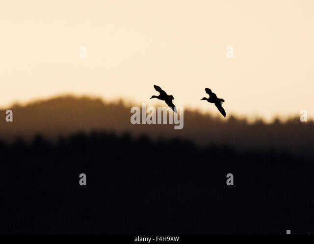 Sandhill Cranes in flight at sunrise, Monte Vista National Wildlife Refuge, Colorado, USA - Stock-Bilder