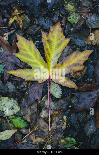 Washington State USA autumn maple leaf turning colour green to brown - Stock Image